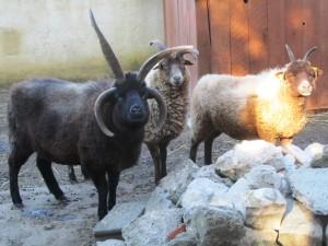 les moutons laugthans