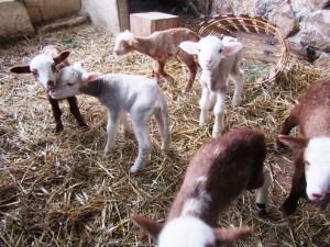les agneau 4