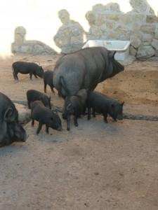 les cochons noirs nains