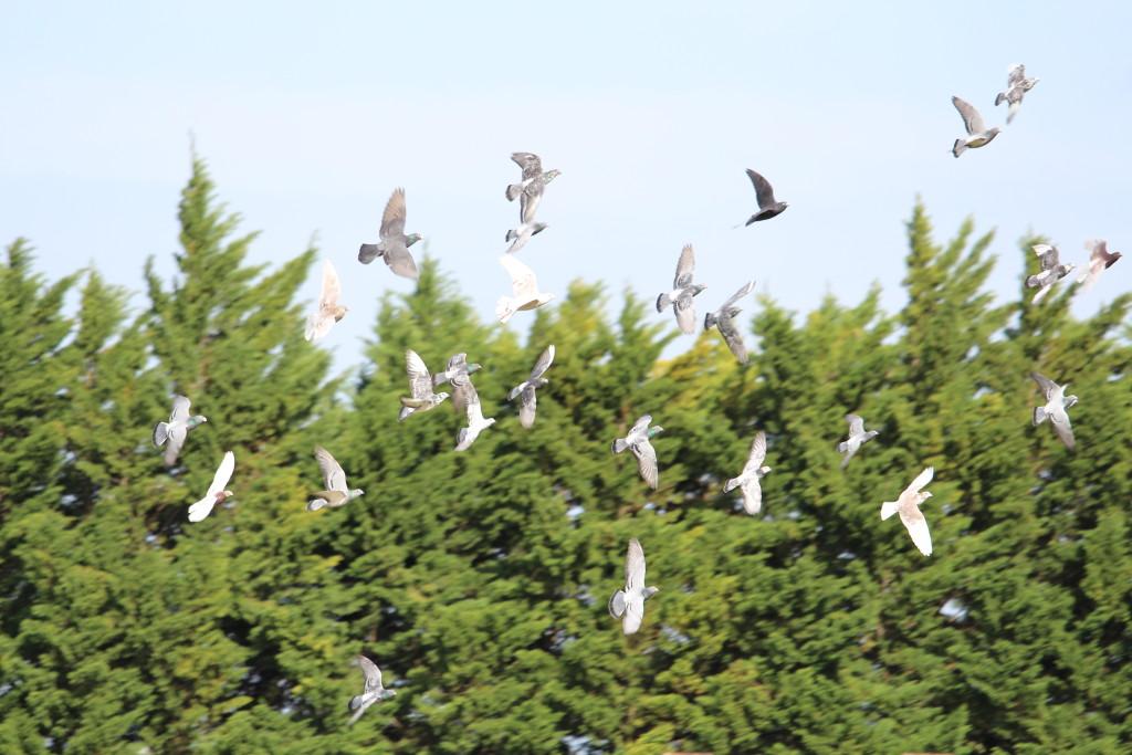 l'envol des pigeons voyageurs