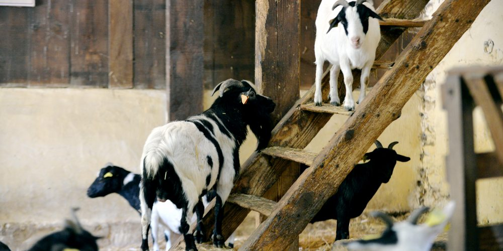 les chèvres naines