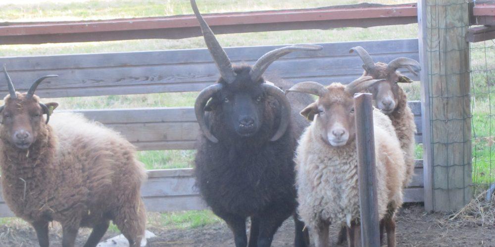 les moutons à 4 cornes