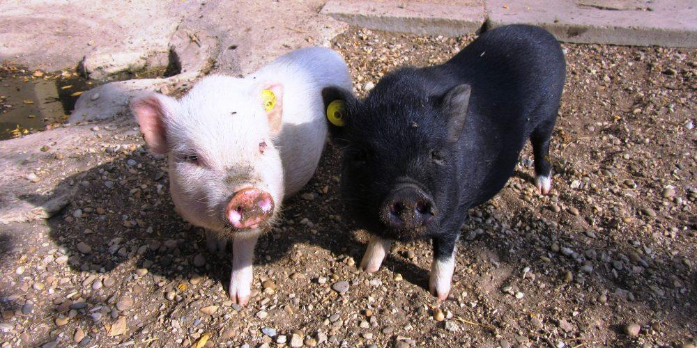 les cochons nains